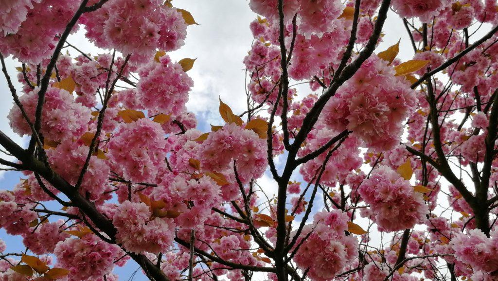 Sakura ve Vysoké