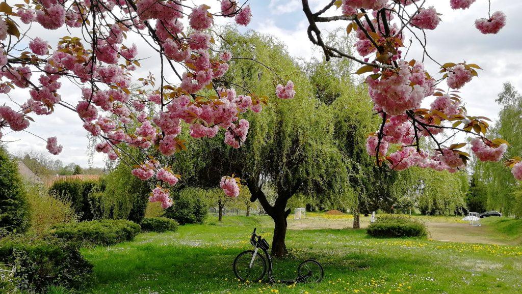 Krásná sakura a hned za ní vrba
